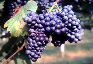 蓝布鲁斯科葡萄