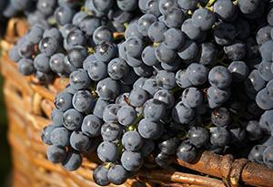 葡萄品种-品丽珠