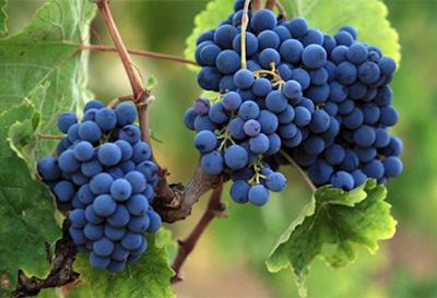 巴克科斯-葡萄品种
