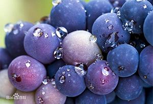 葡萄品种-黑皮诺