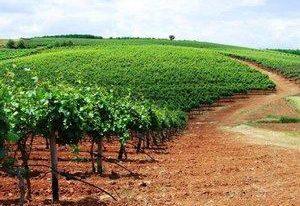 色雷斯产区的葡萄园